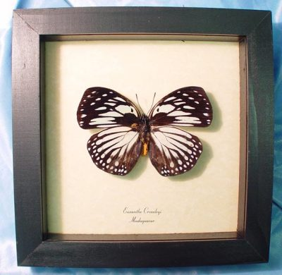 Euxanthe crossleyi Forest Queen African Real Framed Butterfly