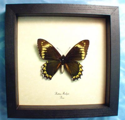 Battus Madyes Maydes Swallowtail Real Framed Green yellow Butterfly