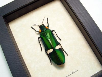 Chrysochroa bicolor Real Framed Metallic wood boring Green Jewel beetle