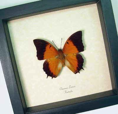 Charaxes latona Orange Emperor Real Framed Butterfly