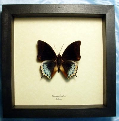charaxes eurialus Real Framed Rare Blue Yellow Dagger Tail Butterfly