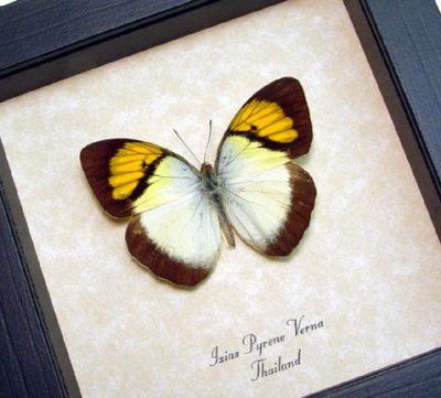 Ixias pyrene verna Yellow Orange Tip Real Framed Butterfly