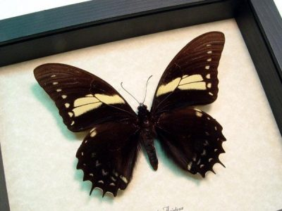 Papilio aristeus Papilio Butterfly With Bird Wings Real Framed Butterfly