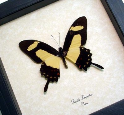 Papilio torquatus The Torquatus Swallowtail Golden Real Framed Butterfly