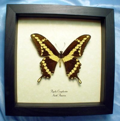 Papilio cresphontes The Giant Swallowtail Real Framed North American Butterfly