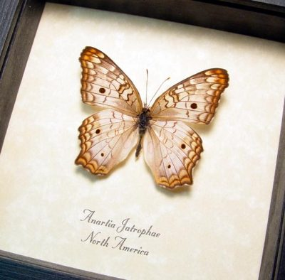 Anartia jatrophae White Peacock Real Framed Butterfly