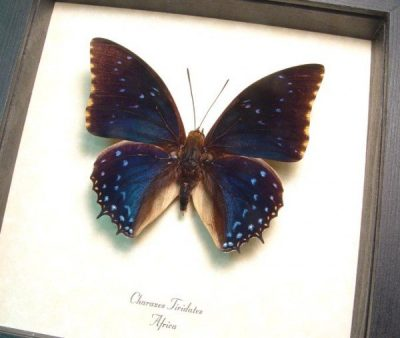 Charaxes tiridates Common Blue Charaxes Real Framed Butterfly