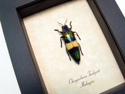 Chrysochroa toulgoeti Real Framed Multi Colored Metallic Beetle