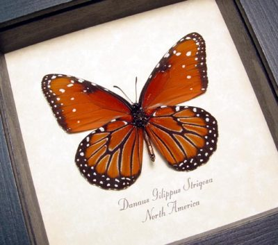 Danaus gilippus strigosus The Queen butterfly Real Framed Butterfly