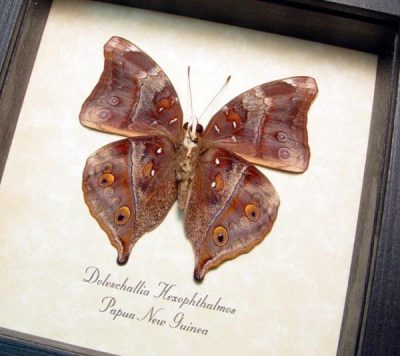 Doleschallia hexophthalmos Autumn Leafwing Dead Leaf Mimic Real Framed Butterfly