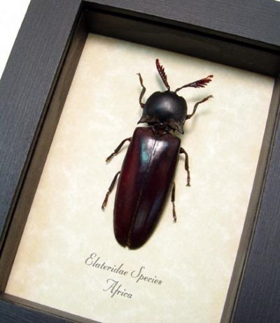Elateridae sp Real Framed Frilled African Click Beetle