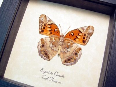 Euptoieta claudia Variegated Fritillary Real Framed Butterfly