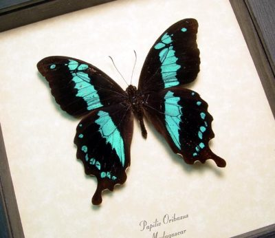 papilio oribazus Real Framed Blue Madagascar African Swallowtail Butterfly