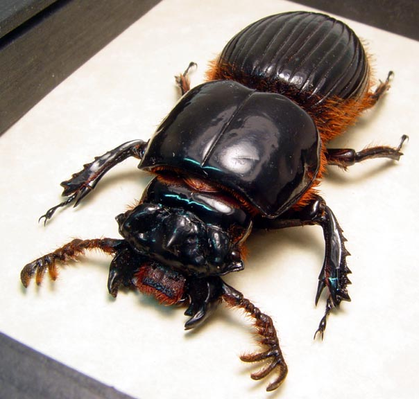 All Other Beetles