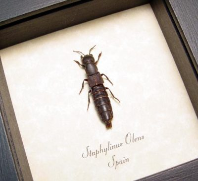 Staphylinus olens Real Framed Devil's Coach Horse Beetle