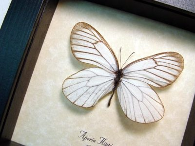 Aporia hippia Rare Real Framed Snow White Russian Butterfly