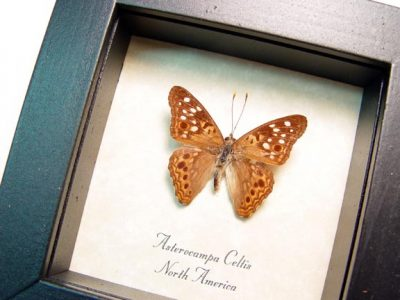 Asterocampa celtis The hackberry emperor Real Framed Butterfly