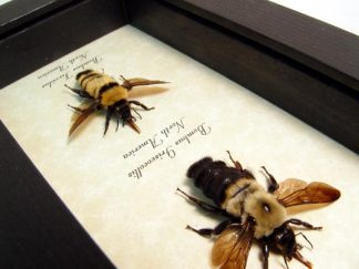 bombus-bee-collection-4