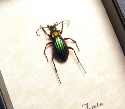 Carabus auratus Real Framed Golden Ground Beetle