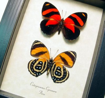 Catagramma cynosura pair Blood Red Orange Butterflies