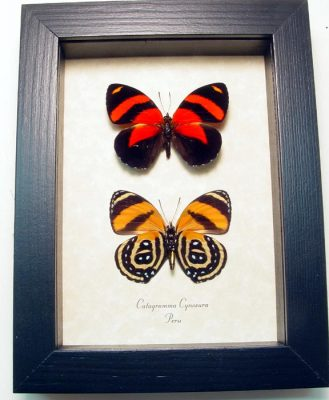 """5""""x 6.5"""" framed Insects"""