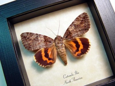 Catocala ilia Beloved Underwing Real Framed Moth