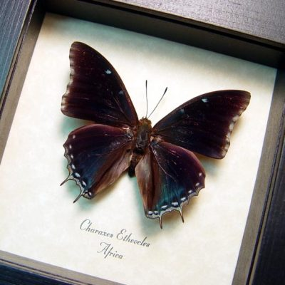 Charaxes etheocles Demon Charaxes Real Framed Butterfly