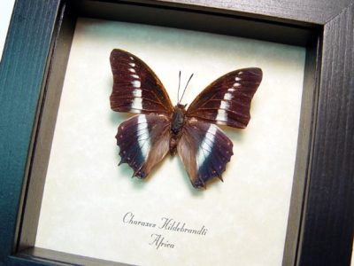 Charaxes hildebrandti Real Framed Blue African Butterfly