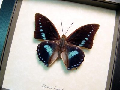 Charaxes imperialis Imperial Blue Charaxes Real Framed Butterfly