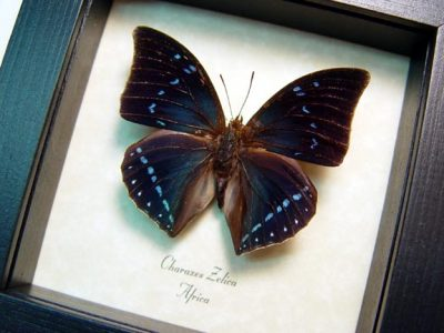 Charaxes zelica Untailed Blue African Real Framed Butterfly