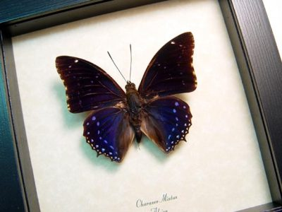 Charaxes mixtus Real Framed Blue African Butterfly