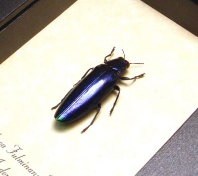 Chrysochroa fulminans fulminans Violet Real Framed  Beetle