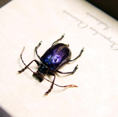 chrysochus chinensis Blue Shiny Leaf Beetle