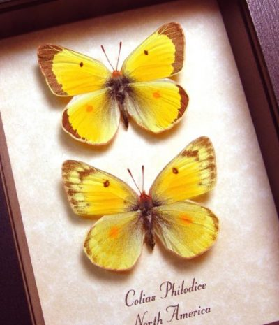 Colias philodice Pair Orange Form common or clouded sulphur Real Framed Butterflies