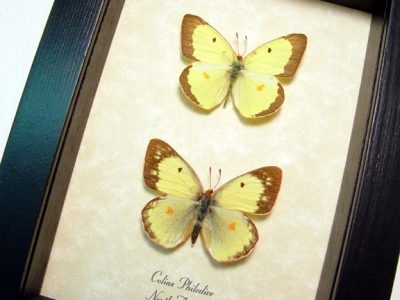 Colias philodice Pair Common Or Clouded Sulphur Real Framed Butterflies