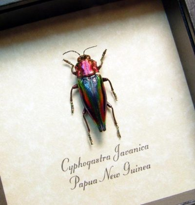 Cyphogastra javanica Real Framed Metallic Rainbow Jewel Beetle