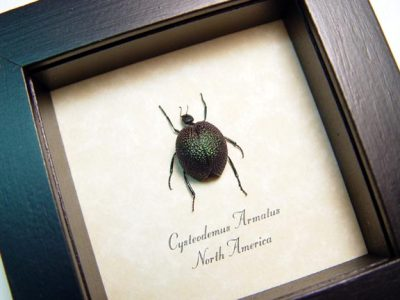 Cysteodemus armatus Green Real Framed Rare Inflated Desert Blister Beetle