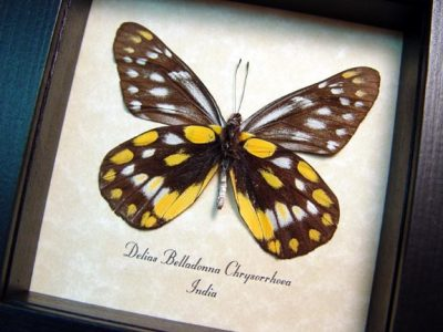 Delias belladonna chrysorrhoea Hill Jezebel Real Framed Colorful Butterfly