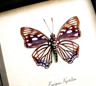 Euripus nyctelius Painted Courtesan Real Framed Butterfly