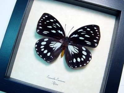 Euxanthe eurinome Common Forest Queen African Real Framed Butterfly