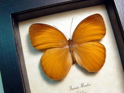 Faunis menados Brown Golden Faun Real Framed Butterfly