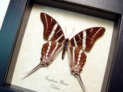 Graphium rhesus Swallowtail Real Framed Butterfly