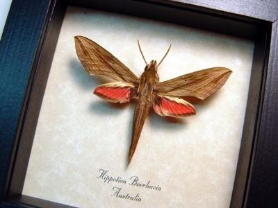 Hippotion boerhavia Pale Striated Hawkmoth Real Framed Moth