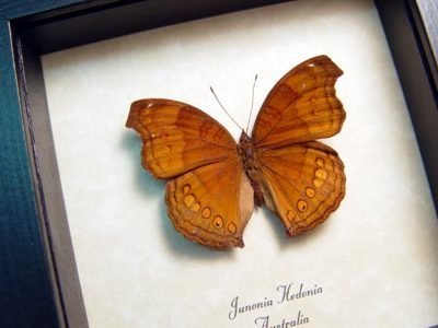Junonia hedonia Brown Pansy Chocolate Soldier Real Framed Butterfly