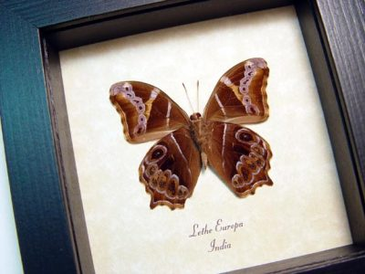 Lethe europa Bamboo Tree Brown Real Framed Butterfly