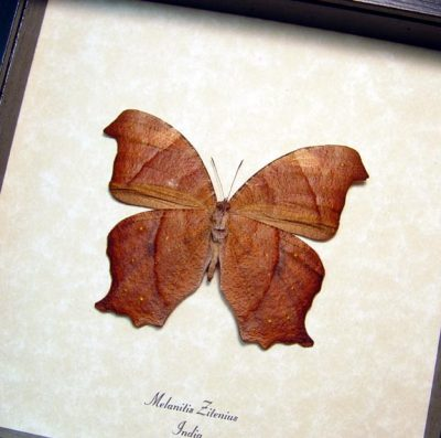Melanitis zitenius Great Evening Brown Real Framed Butterfly