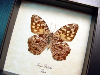 Neope pulaha Veined Labyrinth Tibet Real Framed Butterfly