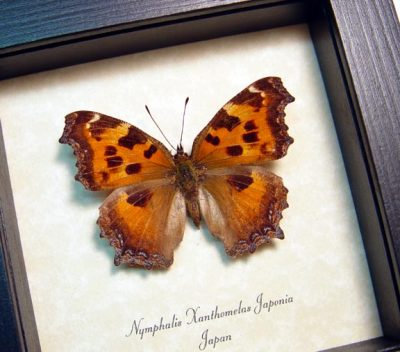 Nymphalis xanthomelas japonia Scarce tortoiseshell Real Framed Butterfly