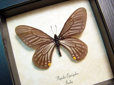 Papilio epicydes Rare Gold Spot Real Framed Butterfly