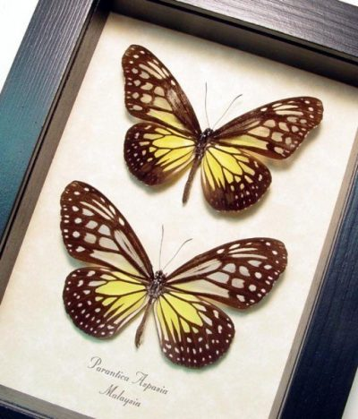 Parantica aspasia pair Yellow Glassy Tiger Real Framed Butterflies